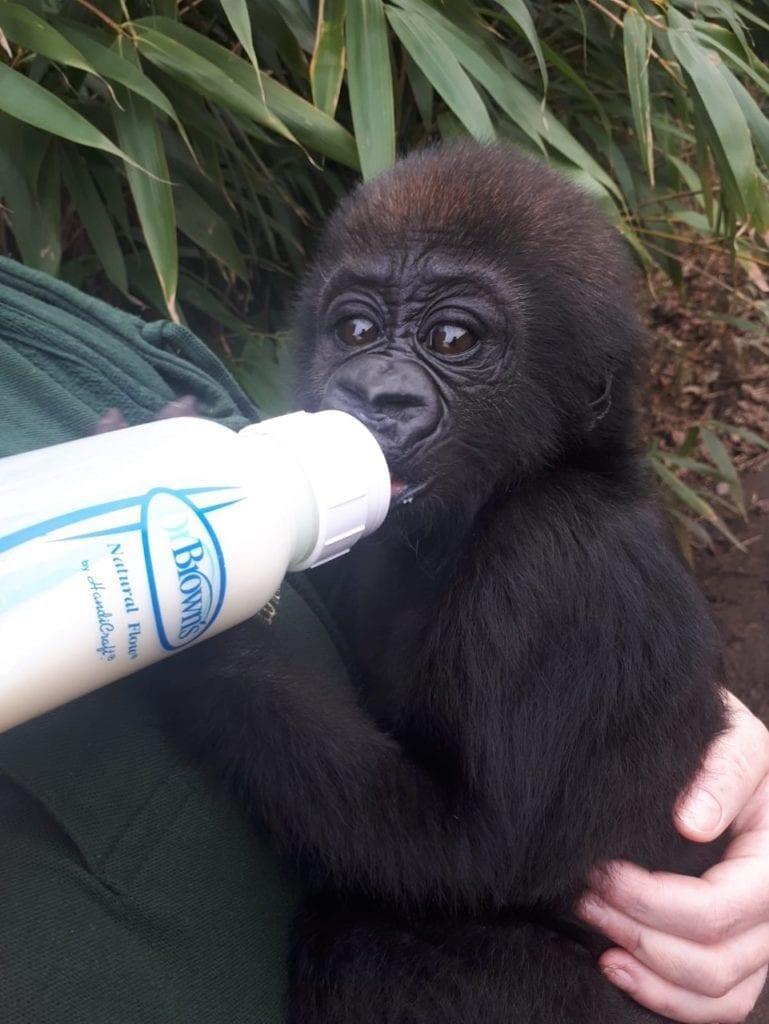 Baby Gorilla bottle feeding